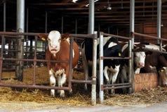 еда коров Стоковые Фото