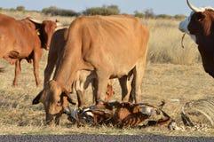 Еда косточек мертвой коровы Стоковые Изображения RF