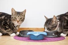 еда котов Стоковые Изображения RF
