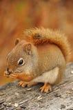 Еда красного squirel Стоковая Фотография