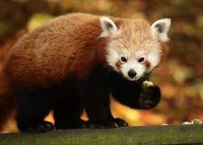 Еда красной панды Стоковые Фотографии RF