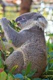 Еда медведя коалы Стоковые Изображения RF