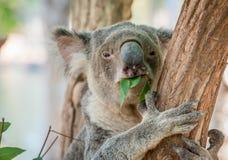 Еда медведя коалы Стоковое Изображение