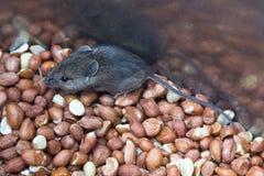 Еда мыши Стоковая Фотография