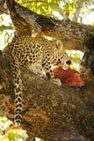 Еда новичка леопарда Стоковое фото RF