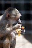 еда обезьяны плодоовощ Стоковое фото RF