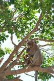 Еда 1 обезьяны Стоковые Изображения RF