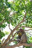 Еда 1 обезьяны Стоковые Фотографии RF