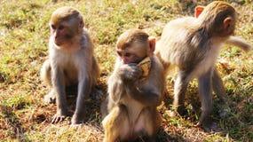 Еда обезьяны Стоковая Фотография