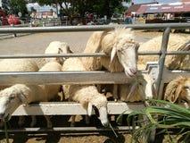 еда овец травы Стоковые Изображения