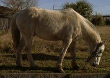 Еда лошади Стоковая Фотография RF