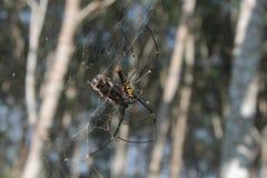 Еда паука Стоковая Фотография