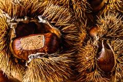 Еда падения/осени сырцовая: Каштаны Стоковое фото RF