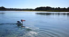 еда пеликана рыб Стоковое Изображение