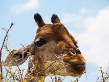 Еда портрета жирафа Стоковое Фото