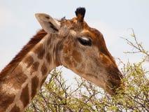 Еда портрета жирафа Стоковые Изображения