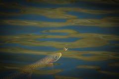 Еда рыб Стоковые Фотографии RF