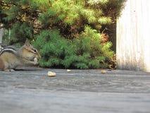 Еда Сибирского бурундука Стоковые Фото