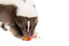 Еда скунса Стоковое фото RF