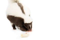 Еда скунса Стоковая Фотография