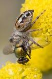 еда спайдера мухы Стоковые Изображения