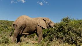 Еда слона Стоковые Фотографии RF