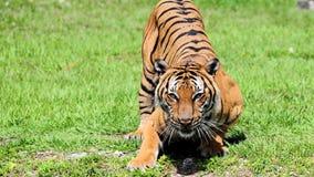 Еда тигра ждать стоковое фото
