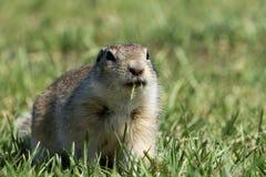 еда травы суслика Стоковое Фото