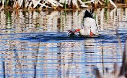 Еда утки вверх ногами ища Стоковые Фото