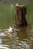 Еда утки Стоковое фото RF