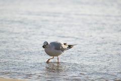 Еда чайки в море Стоковое фото RF