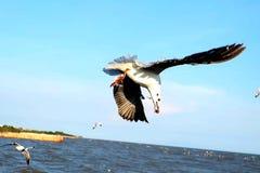 Еда чайки ждать от людей Стоковое Изображение RF
