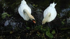 Еда для лебедей Стоковые Фото