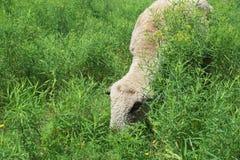 Еда для овец Стоковые Фотографии RF