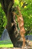 Еда Gerenuk Стоковое фото RF