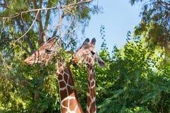 еда giraffes 2 Стоковые Фото