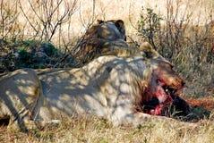 Еда Warthog льва Стоковые Фотографии RF