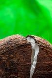 Едва ли прерванный кокос: половины кокоса на зеленой предпосылке Стоковое фото RF
