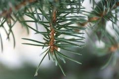 Елевая ветвь в лесе Стоковое Фото
