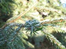 Елевая ветвь в снеге Стоковые Фото