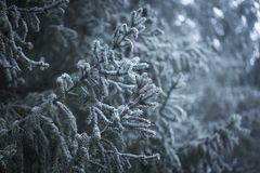 Елевая ветвь дерева с гололедью Стоковые Фотографии RF