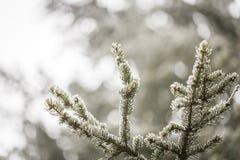 Елевая ветвь дерева с гололедью Стоковая Фотография