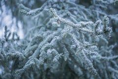 Елевая ветвь дерева с гололедью Стоковое фото RF