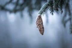 Елевая ветвь дерева с конусом и гололедью Стоковая Фотография RF