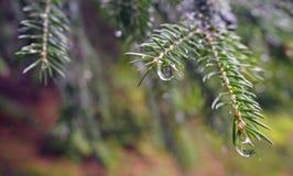 Елевая ветвь дерева с дождем падает стоковое изображение