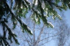 Елевая ветвь на предпосылке голубого неба в зиме Стоковые Фотографии RF