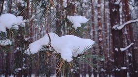 Елевая ветвь покрытая при снег, отбрасывая в ветре в лесе, конец-вверх сток-видео