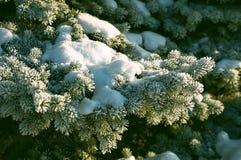 Елевая ветвь с снегом и изморозью Стоковые Фотографии RF