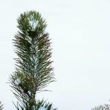 елевая зима Стоковые Изображения RF