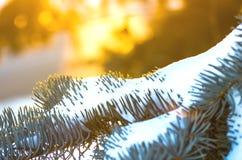 Елевые ветви в зиме Стоковая Фотография